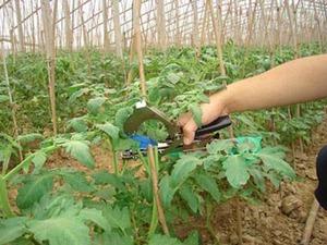 番茄绑枝机,绑番茄